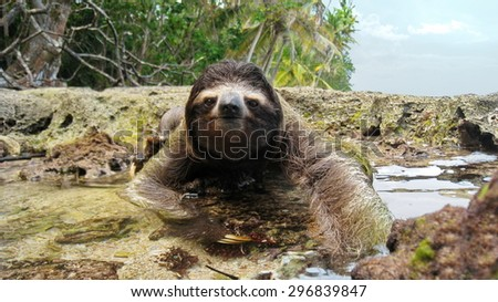 Three-toed sloth crossing a puddle on ground of the tropical coast in the national park of Cahuita, Costa Rica, Central America