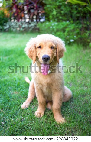 Golden Retriever 3 month old puppy lying in the grass #296845022