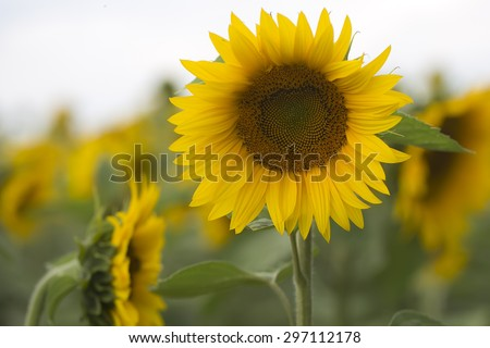 One beautiful round bright fresh blooming yellow sunflower with seeds in middle and green leaves in cultivated field on natural countryside background, horizontal picture