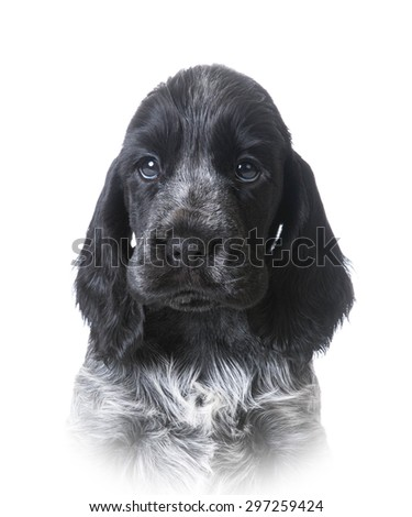 cute puppy - english cocker spaniel portrait #297259424