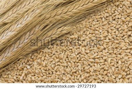 Mature ears about wheat grain #29727193