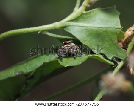 Jumping Spider in the nature #297677756