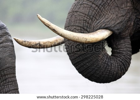 A close up abstract image of an elephants tusks. #298225028