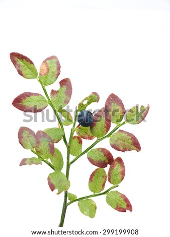 bush blueberries on a white background #299199908