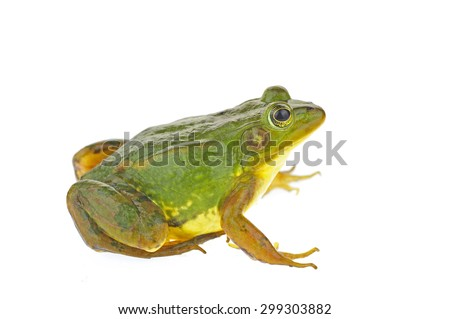 Frog isolated on a white background  #299303882