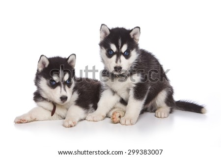Two Siberian husky puppy sitting and looking at the camera (isolated on white) #299383007