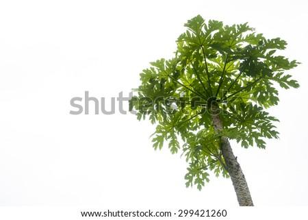 isolate tree white back #299421260