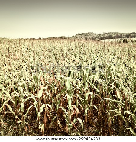 Plantation of Corn in the French Limousen, Vintage Style Toned Picture