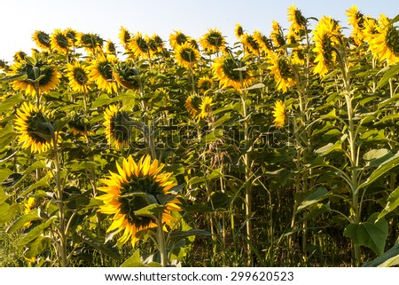 Sun shining through the petals of the sunflowers #299620523