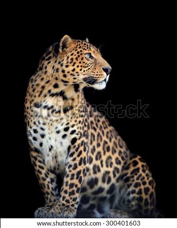 Close up wild leopard on the dark background #300401603