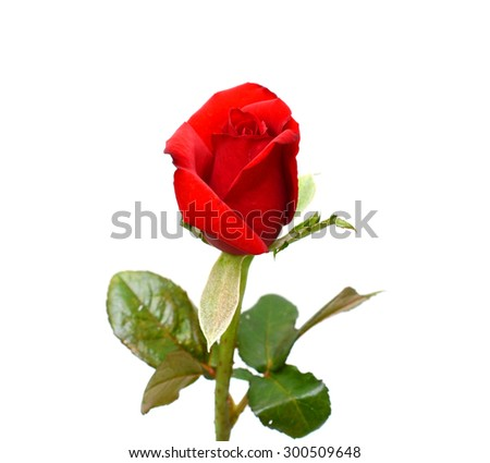 beautiful red rose flower, isolated on white background #300509648
