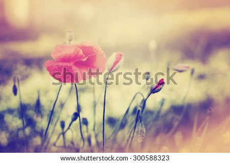 Field of Corn Poppy Flowers Papaver rhoeas in Summer #300588323