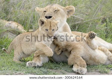 Lion cubs (Panthera leo) playing with mother on the savanna, Serengeti national park, Tanzania. #300624164