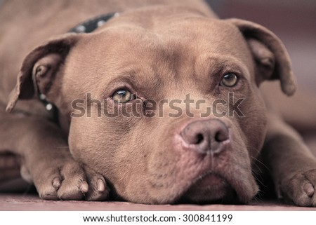pitbull Red nose  , Amazing Dog