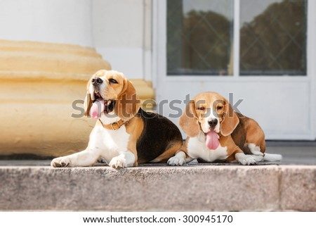 Beagle walking in the park #300945170