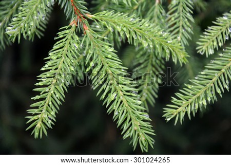 Fir-tree and water drops #301024265