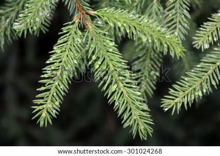 Fir-tree #301024268
