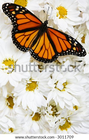Monarch butterfly on mass of white flowers #3011709