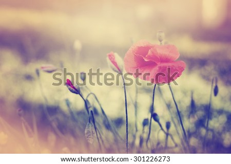 Field of Corn Poppy Flowers Papaver rhoeas in Summer #301226273