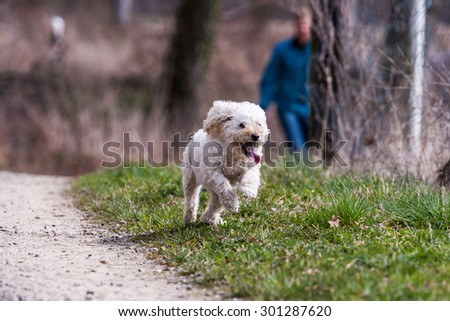 White poodle on meadow #301287620