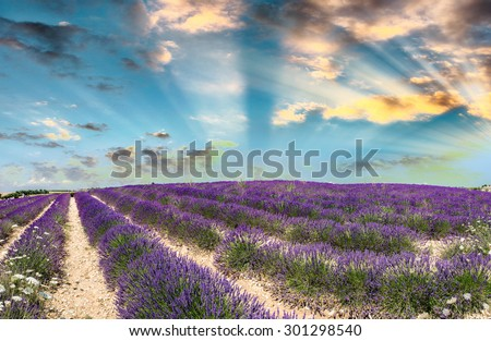 Sky and lavender fields contrast - France. #301298540