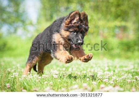 German shepherd puppy playing outdoors #301321877