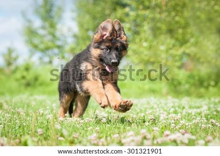 German shepherd puppy running outdoors #301321901