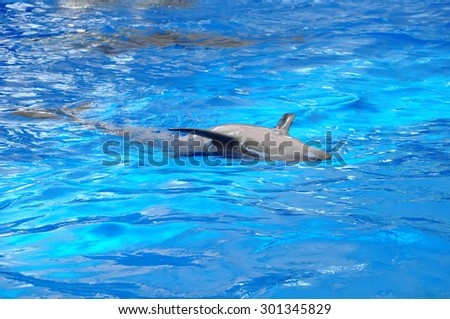 bottlenose dolphin in blue water #301345829