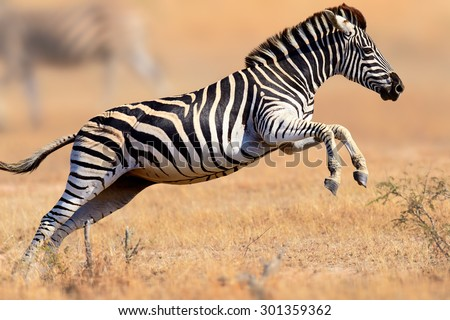 Zebra (Equus burchell's) running and jumping - Kruger National park (South Africa) Royalty-Free Stock Photo #301359362