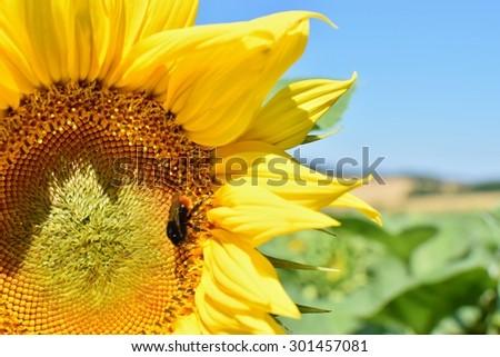 Sunflower #301457081