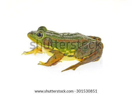 Frog isolated on a white background  #301530851