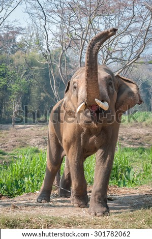 Thai elephant lift trunk with sound trumpet