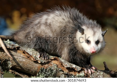 curious young sub adult possum on a tree limb