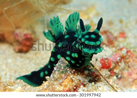Frontal Close-up of a Cristate Neon Slug (Nembrotha Cristata), Padang Bai, Bali, Indonesia