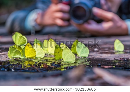Close up of Tree Yellow (Gandaca harina) butterflies and other Pieridae butterflies puddling on the ground in nature with a photographer in background