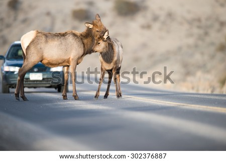 Editorial content; A cow elk and her calf stop in the middle of the road, as a car stops to wait for them to move