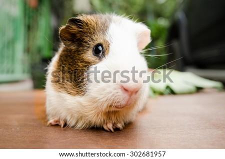Cute guinea pig, a popular household pet.