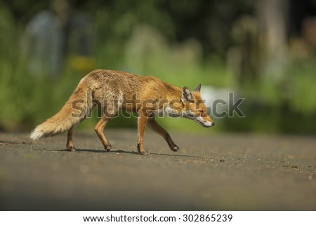 Red fox stalking - Vulpes vulpes #302865239