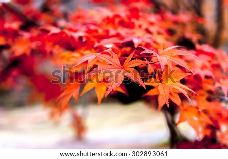 Vivid red autumn leaves #302893061
