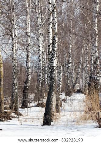 birch on nature in winter #302923190