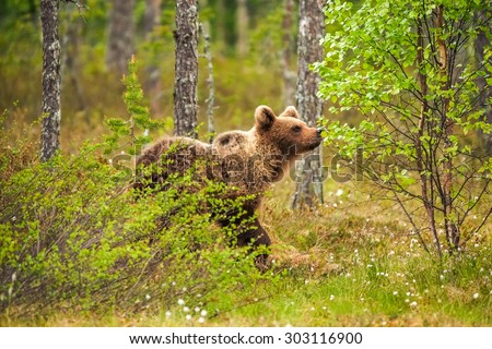 Brown bear (Ursus arctos) walking in the bog at sunset #303116900