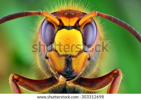 The picture shows Hornet (Vespa crabro) isolated on colorful background. Mega macro shot. Ireneusz Irass Waledzik.Extreme close-up.