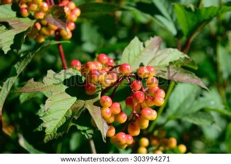 Highbush Cranberry (Viburnum opulus var. americanum) Fruit and Leaves #303994271