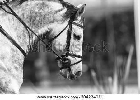 Horse Grey White Grey white horse closeup at national equestrian show jumping championship