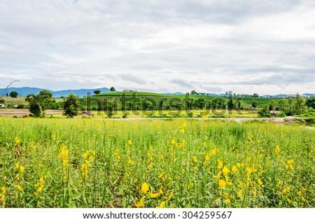 sunhemp flower on tea plantation landscape at Chiang rai, Thailand. #304259567