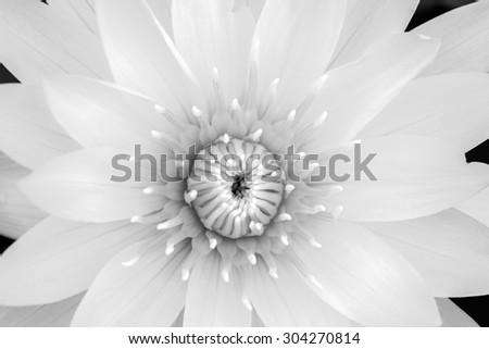 closeup lotus
