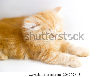 red persian kitten on a white background #304309643