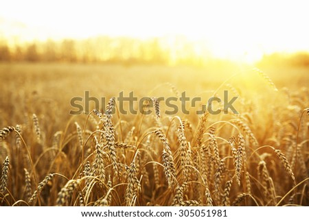backdrop of ripening ears of yellow wheat field on the sunset cloudy orange sky background Copy space of the setting sun rays on horizon in rural meadow Close up nature photo Idea of a rich harvest #305051981