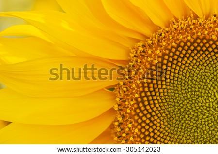 sunflower #305142023
