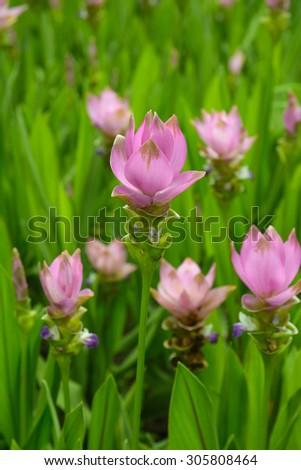 Curcuma  aeruqinosa flowers #305808464
